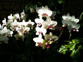 Sunlit Orchids by september28