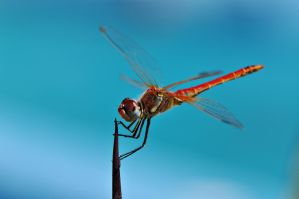 Red Dragonfly by Blazemorioz