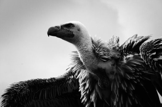White-backed vulture by Sludgetown