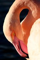 Flamingo 03 by s-kmp