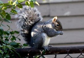 Grey squirrel. by sweatangel