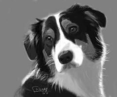 an australian shepard by krohmdesign