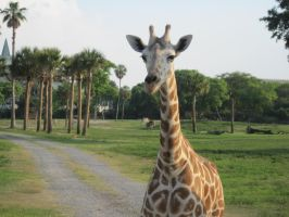 Stock: Giraffe 19 by equizotical