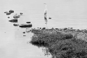 Great White Egret by Katastrophey