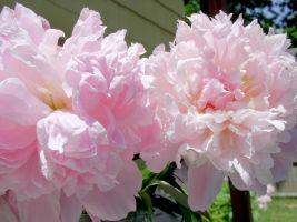 Peonies Stock 8 by Retoucher07030