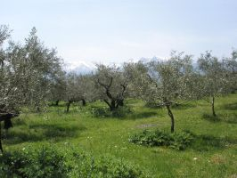 Olive trees and Mount Parnassus. by ecatodarcus