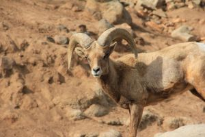 Big Horn Sheep 11 by Chocomix-Stock