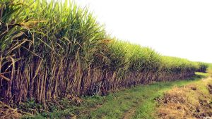 sugar cane by Ngoeg