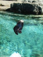 Sea Otter 3 -- Sept 2009 by pricecw-stock