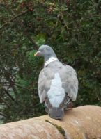 Wood pigeon by buttercupminiatures