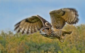 European Eagle Owl by mansaards