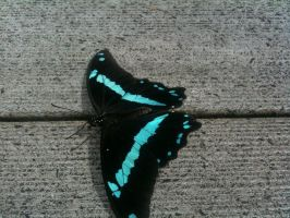 Blue and Black Butterfly by SteamPixy