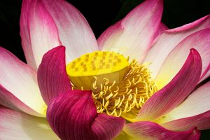 Lotus Flower by carterr