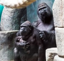 Gorilla Family Portrait I by OrangeRoom