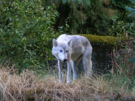 White Wolf 1 by tristin-stock