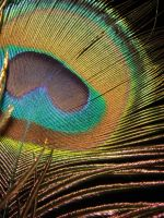Peacock feather by PH0T0WH0RE