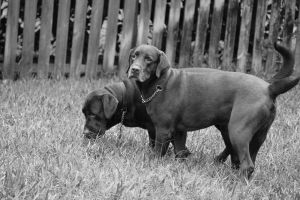 Two Labradors by DarkestSoul13