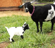 Goats by pinkfloydsrainbow