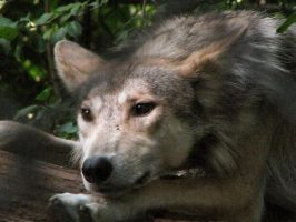 Mexican Wolf Stock 6 by HOTNStock