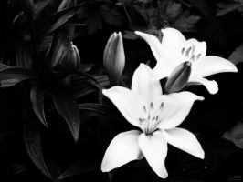 Lillies and Remains, by mkf5Cd