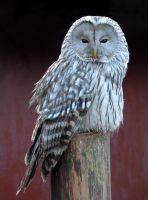 Ural Owl by April-Snowflake