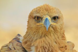 Tawny Eagle - African Wildlife - Serious Stare by LivingWild