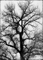 Black and White Tree by Chessta