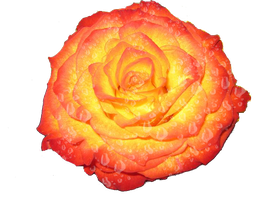 Fire tipped rose with dew by sora96