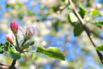 apple blossom by axellie
