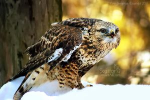 Rough-legged Hawk by Sagittor