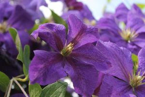 Purple clematis bloom by termkiller