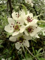 Apple Blossom by Helen-Of-The-Dead
