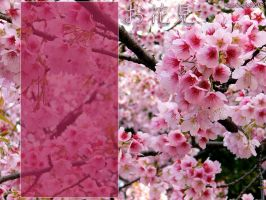 Cherry blossoms, pink by Azul-Morag