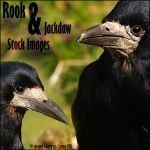 Rook and Jackdaw Zip Pack by NickiStock