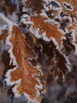 frosty leaves by evuremus