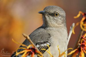 Mockingbird by mydigitalmind