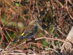Yellow Rumped Warbler by pewter2k
