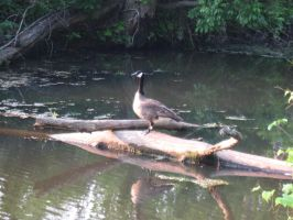 Canada Goose eh? by Fireborn46