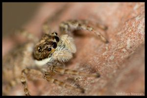 Jumping Spider by nithilien