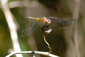 Dragonfly 2 by 2753Productions