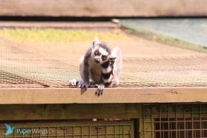 IMG_3577 - Ring tailed lemur by 0paperwings0