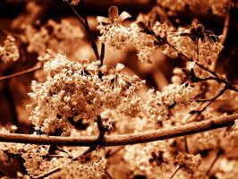 Tree Flowers in Sepia by Kitteh-Pawz
