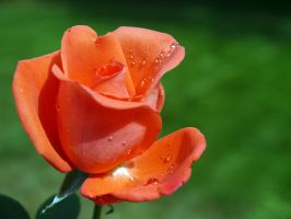 Rose With Droplets by PamplemousseCeil