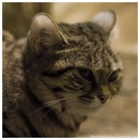 Black Footed Cat 006 by ShineOverShadow