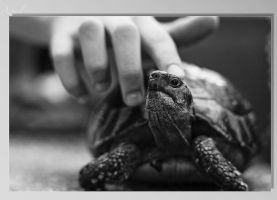 Turtle by burzel