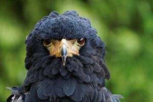 Bateleur by SnowPoring