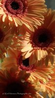 sun on the petals by KarlsSkies