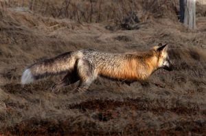 Wild Fox Shot Moments Ago 3 by Witch-Dr-Tim