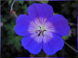 Periwinkle Pansy by Photos-By-Michelle