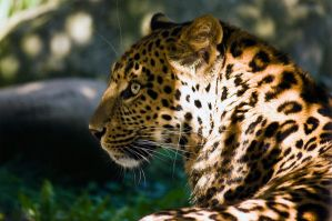 Leopard by Linkineos